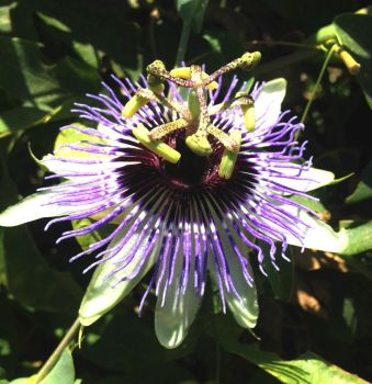Winter Passion Flower by Madkazer