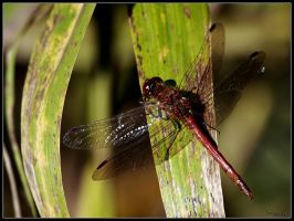 Dragonfly by cycoze