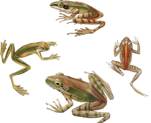 Variety of Frogs PNG by chaseandlinda
