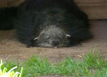 Sleepy Binturong by smsldoo