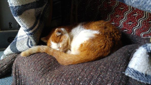 Commemoration for Shackleton, my orange male cat by Tiggidou