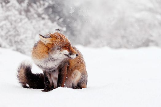 Red Fox In the Snow by thrumyeye