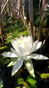 Water Lily by LadyFenrirUnchained