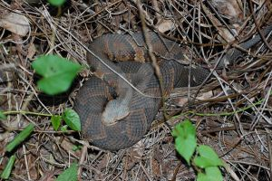 Water Moccasin by Focus-Fire