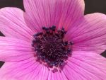 Anemone by ftourini