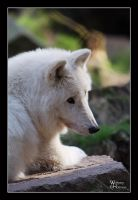 Arctic Wolf 20091004 by W0LLE