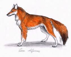 Red Wolf by Annushkathesetter