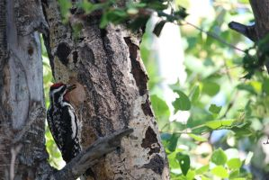 Father Woodpecker by Meagharan