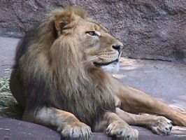 Lion 3 by dtf-stock