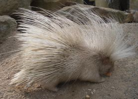 Albino Porcupine by krunchiefrog