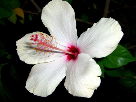 Hibiscus Flower Stock by C0L