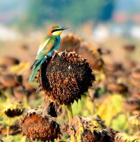 A bee-eater by corsuse
