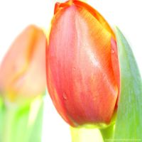 Tulips by karlomat