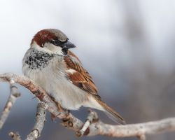 House Sparrow - Shoulder check by JestePhotography