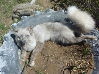 Lavender Fox Soft mount by Tricksters-Taxidermy