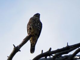 Falcon On Edge Of Branch by wolfwings1