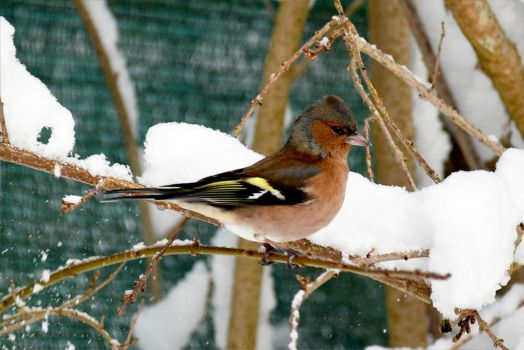 4829 Chaffinch in the snow by RealMantis