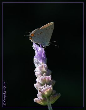 For the love of lavender by kayaksailor