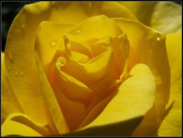 Yellow Rose by louiecablouie