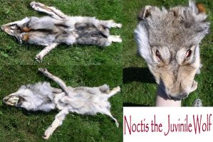 Noctis juvenile wolf SOLD by galianogangster