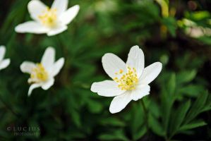 Anemone II by LuciusThePope
