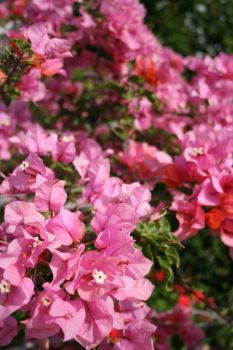 Pink Flowers by HaMaSeR