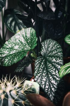 Begonia spec. by merkero
