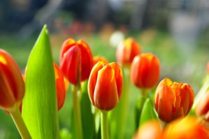 tulips by duckstance