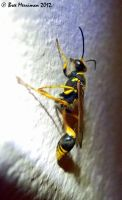 Mud Wasp by BreeSpawn