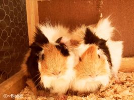 Guinea Pig Family by Blagat