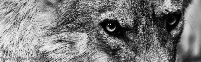 wolf looking by Stray-Wolf-2