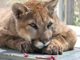 Cougar by SEXYBEAST1687