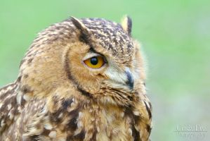 Pharaohs Eagle Owl by lost-nomad07
