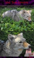 Val The Fluffy Coyote by Zhon