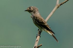 Dark Sided Flycatcher (juv) by DebasishPhotos
