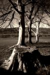 Laurieston Road: 3 trees by Coigach