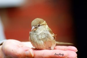 Baby Sparrow by RosieHPhotographer