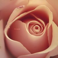 Pink Rose by iMargreet