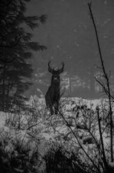 young buck by shadowdude100