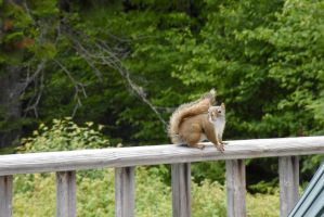 Red Squirrel Sitting OnPorch Railing,Looking Off by Miss-Tbones