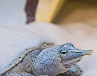 Spiny Softshell Turtle No. 1 STOCK by slephoto