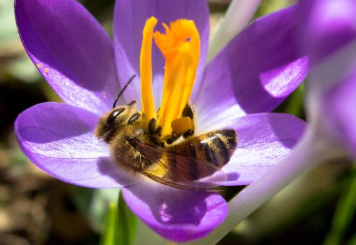 Honeybee on Crocus by cedarlili