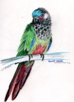 Painted Conure by supercrazzy
