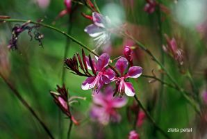 wild pink by Zlata-Petal