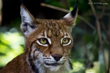 Lynx_Face by PiTurianer
