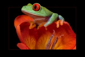 Frog on freesia by AngiWallace