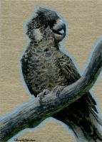 ACEO 2015 - Baudin's Black Cockatoo by M-Everham