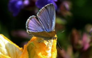 common blue grass butterfly 2 by wolftraz