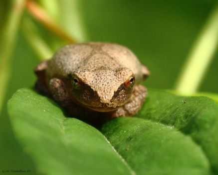 Tree Frog eye level view by natureguy
