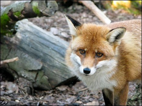 Red Fox: agent's face by woxys